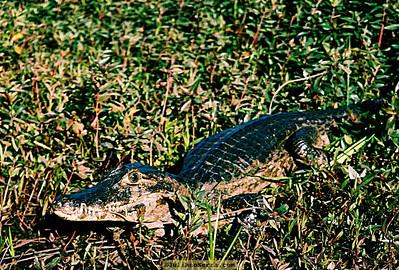 Jacaré-do-pantanal ou jacaré-do-paraguai (Caiman yacare), Transpantaneira, 2003 copyright (c) 2007 Juliano Serra Argentina