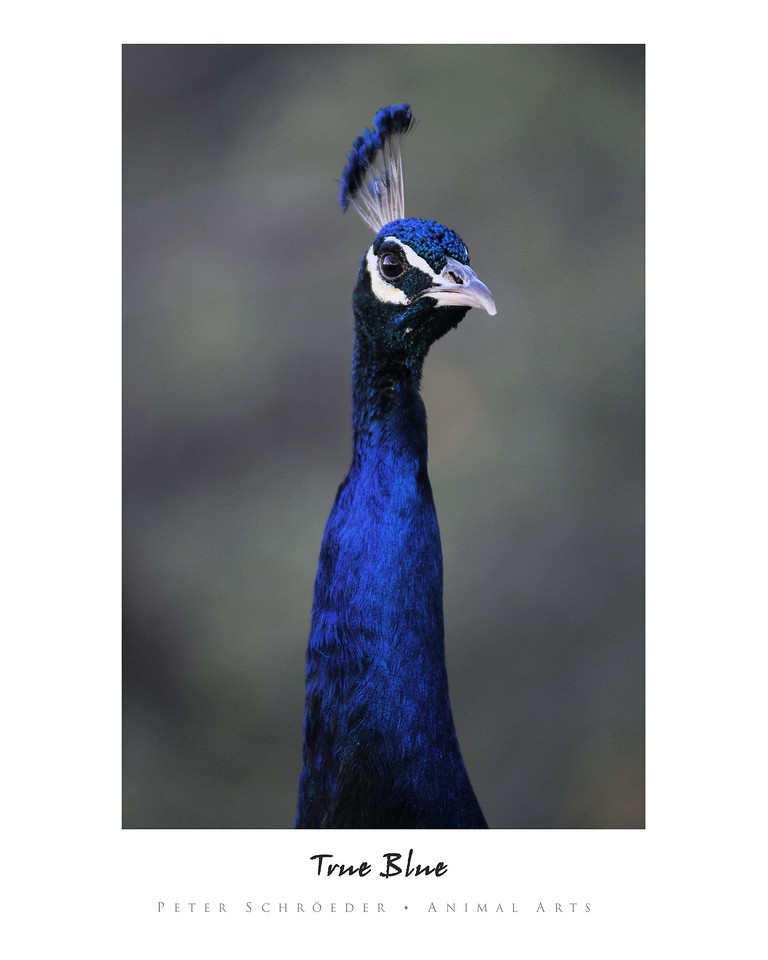 True Blue - Animal Arts by Peter Schroeder