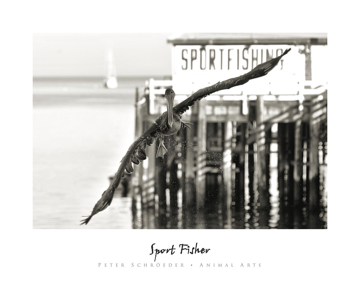 Sport Fisher - Animal Arts by Peter Schroeder