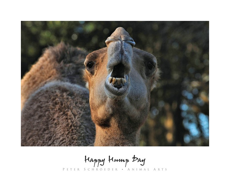 Happy Hump Day - Animal Arts by Peter Schroeder