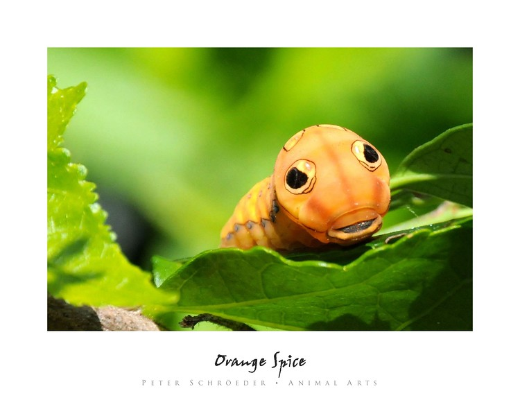 Orange Spice - Animal Arts by Peter Schroeder