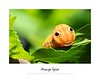 Orange Spice - Animal Arts by Peter Schroeder