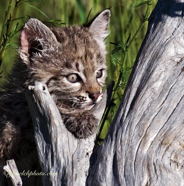 Baby Bobcat Head Shot