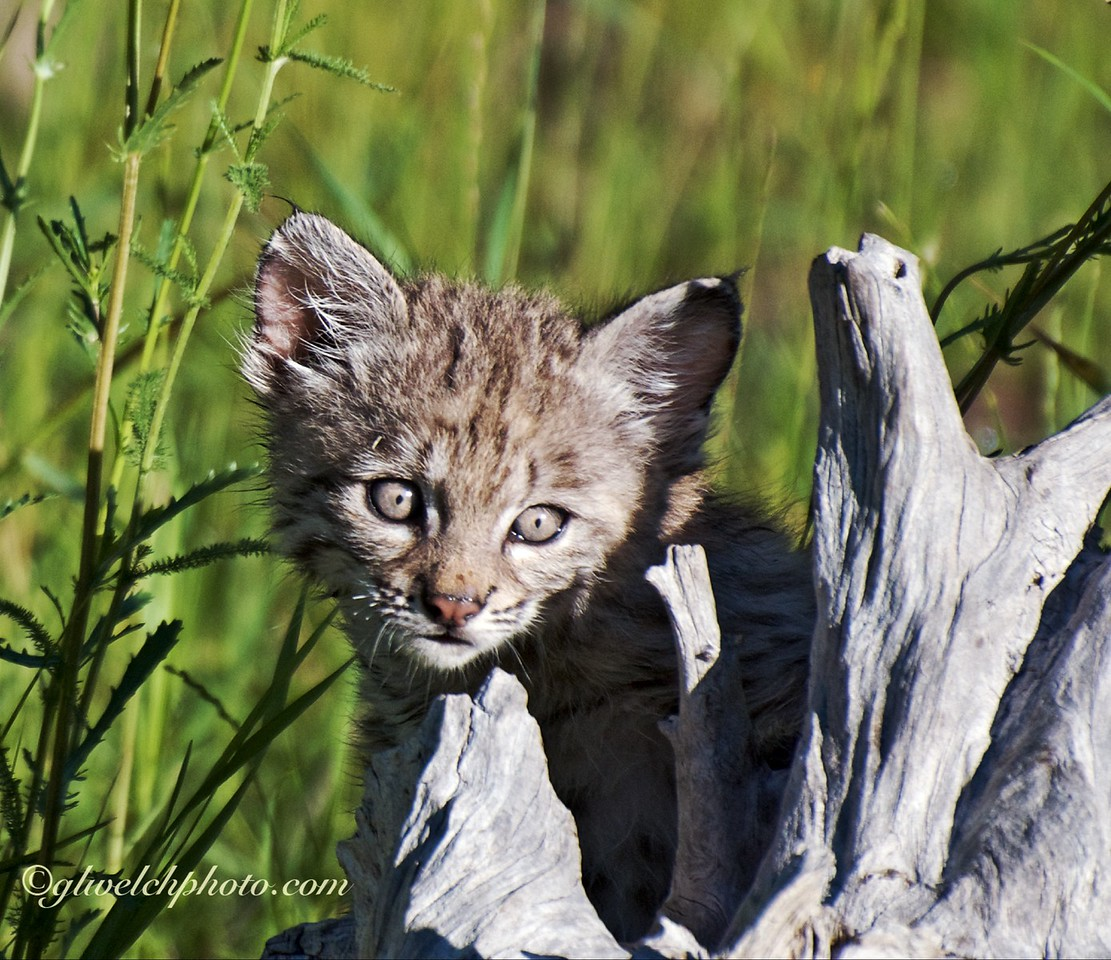 Baby Bobcat on driftwood,  Head Shot