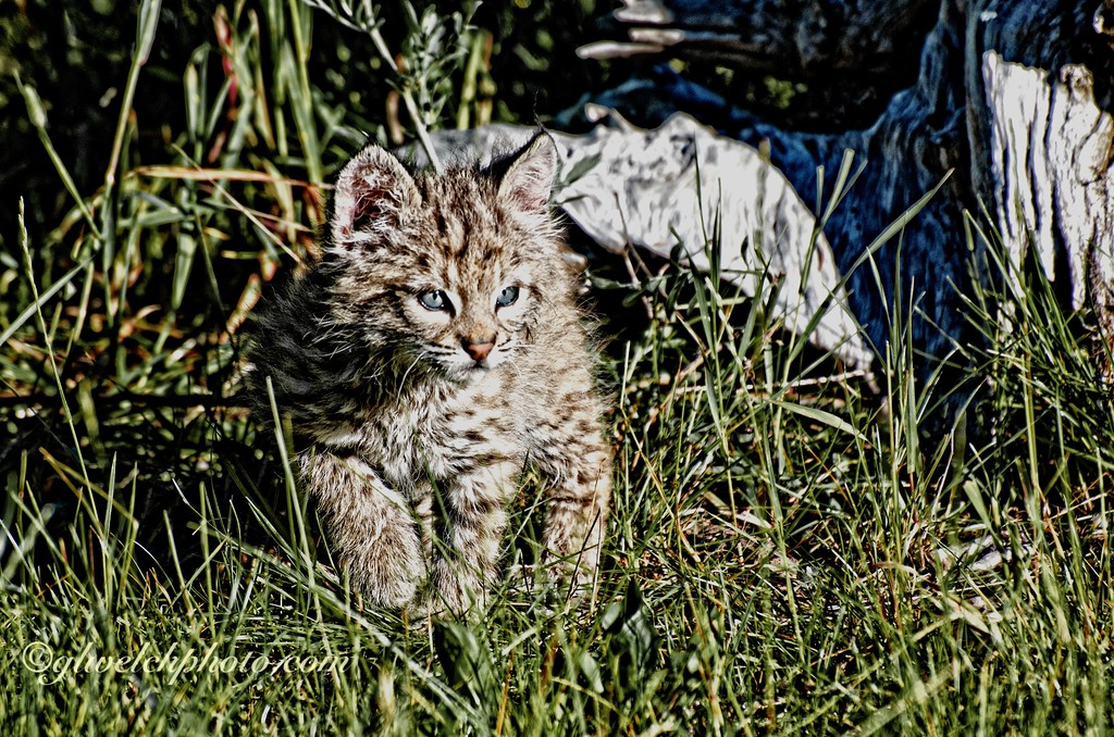 Baby Bobcat exploring the grass