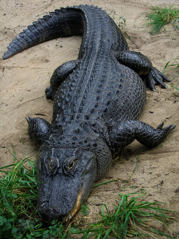 American_Alligator-XL.jpg