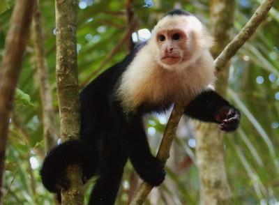 capuchin-monkey_1-S.jpg
