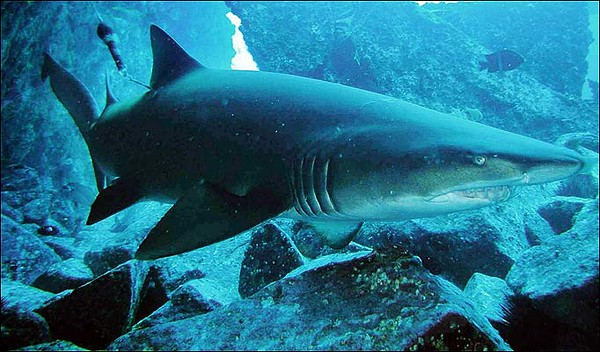 grey-nurse-shark-68_734372a-M.jpg