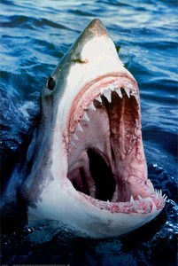 Great-White-Shark-Posters-S.jpg