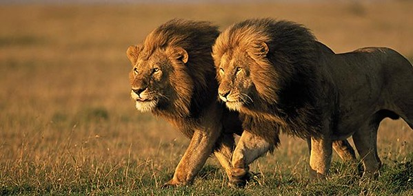 two-male-lions-Kenya-631_jpg__800x600_q8