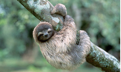A-three-toed-tree-sloth-h-008-S.jpg