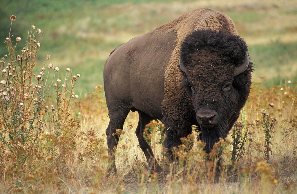 1280px-American_bison_k5680-1-XL.jpg