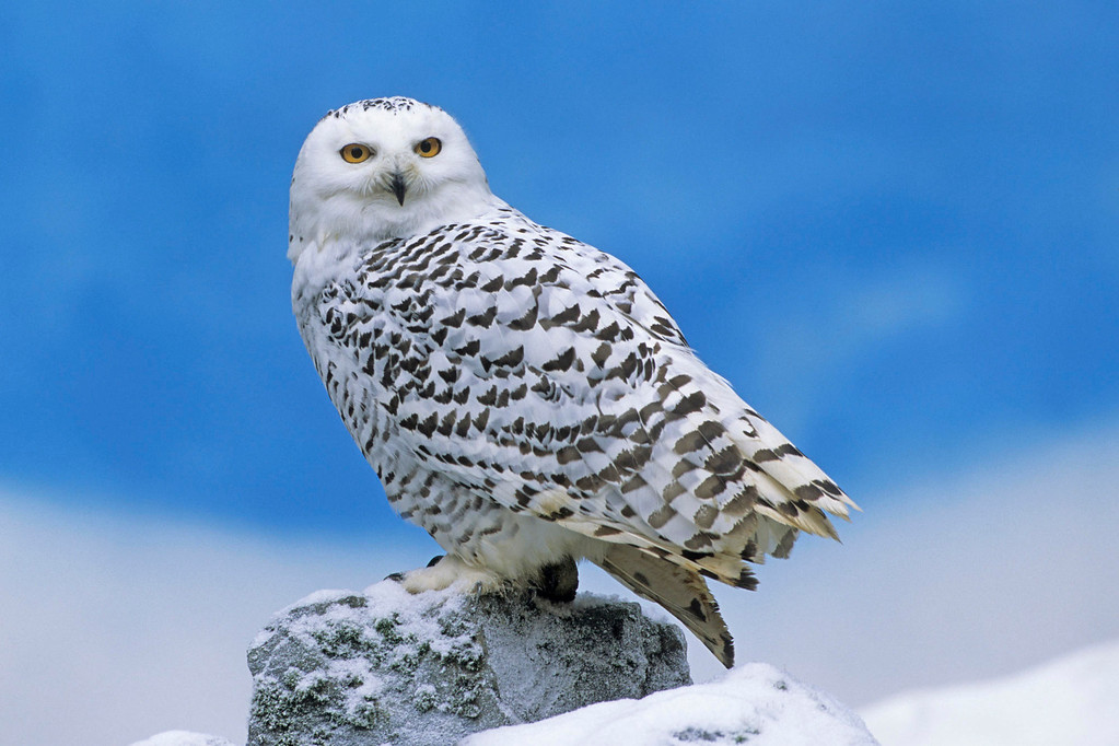snowy_owl-other-XL.jpg