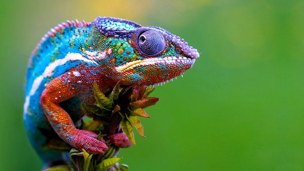 Colorful-Chameleon-lizard-XL.jpg