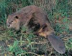 beaver-Th.jpg
