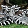Katta - Gruppe<br /> lemur katta<br /> ring-tailed lemur
