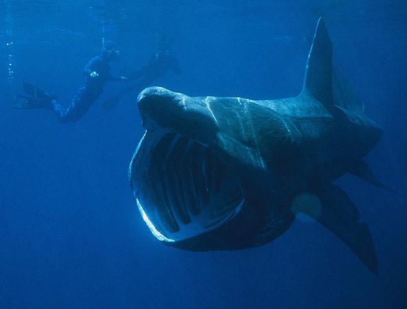 790px-Basking_Shark-M.jpg