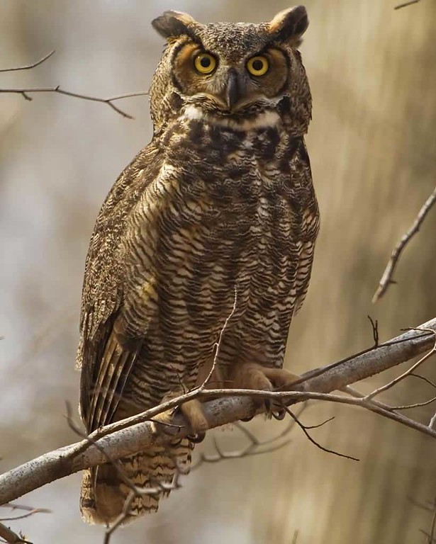 Great_Horned_Owl_s36-36-026_l-XL.jpg