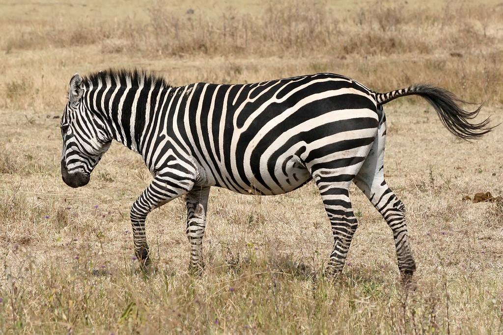 Zebra_running_Ngorongoro-XL.jpg