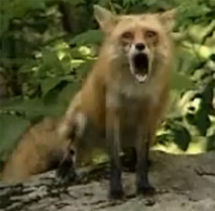 fox-cry-and-scream-S.jpg