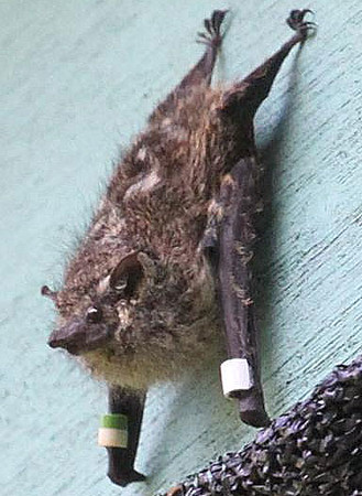brazilian-long-nosed-bat-showing-nose-M.