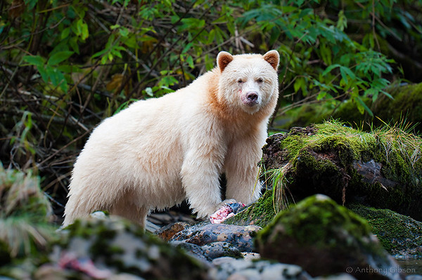 The-Spirit-Bear-M.jpg