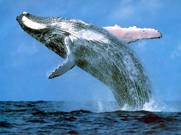 humpback_whale_margaret_river-M.jpg