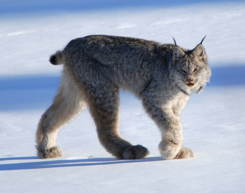 1024px-Canadian_lynx_by_Keith_Williams-X