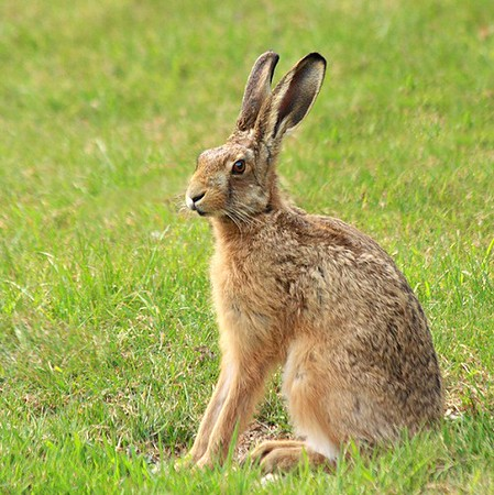 brown-hare-7-M.jpg