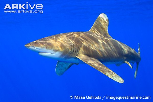 Oceanic-whitetip-shark-swimming-lateral-
