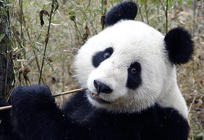 panda0106-S.jpg