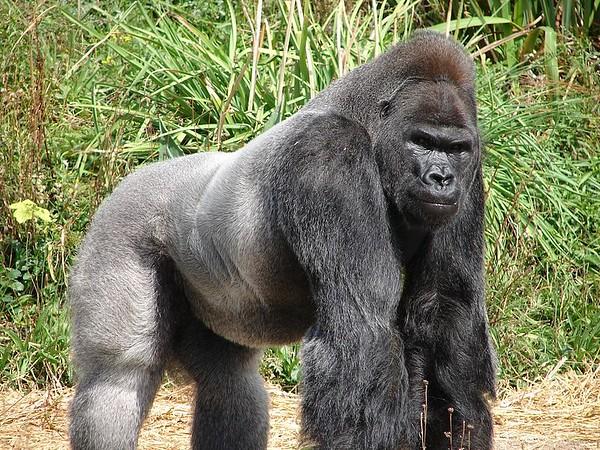 Jock%2C_the_Gorilla-M.jpg