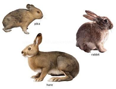 rabbit-hare-pika-S.jpg