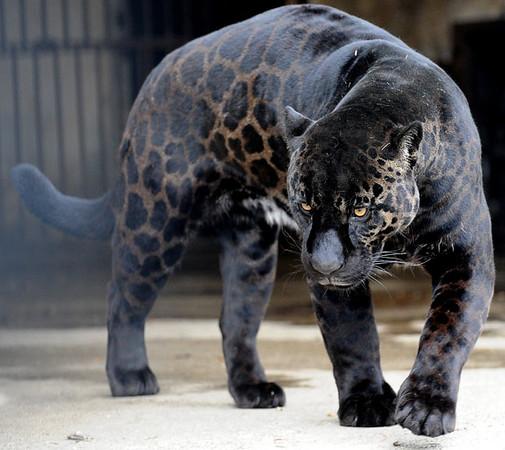 black-panther_1576289i-M.jpg