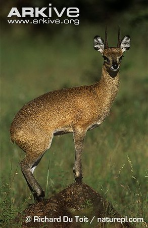Male-klipspringer-M.jpg
