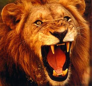 lion-S.jpg