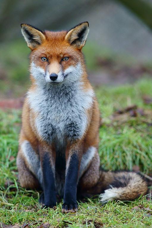 Fox_study_6-XL.jpg