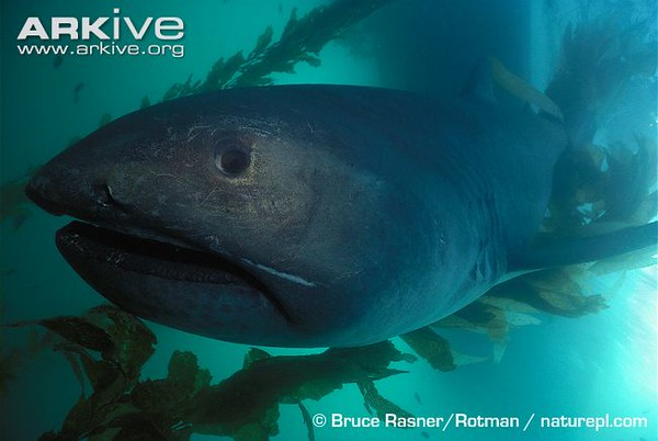 Megamouth-shark-M.jpg