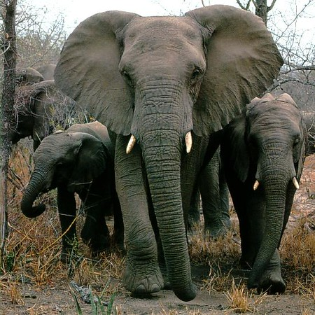 Afwld-African-Elephants-Mom-Nbabies-Walk