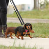 Lily and Lola getting walked at ACCC
