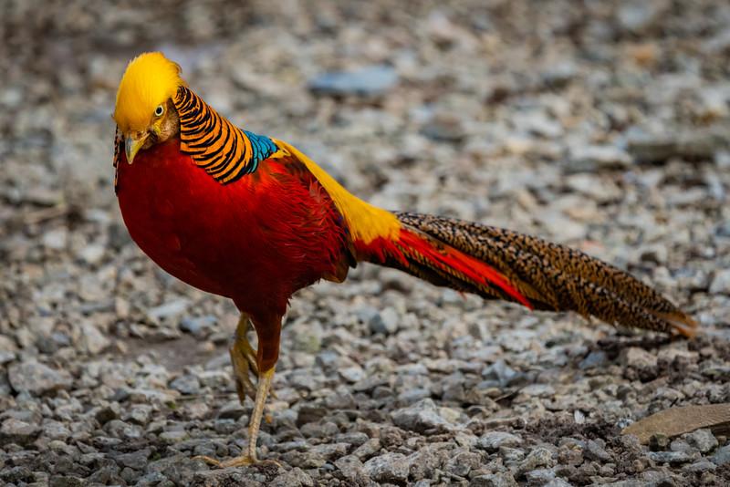 Gullfasan / Golden pheasant