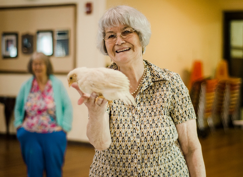 . A baby chicken flies up to greet Pat LaMarcia as the Winchendon-based Animal Craze traveling petting zoo  visited the Fitchburg Senior Center on Wednesday, July 12, 2017. SENTINEL & ENTERPRISE / Ashley Green