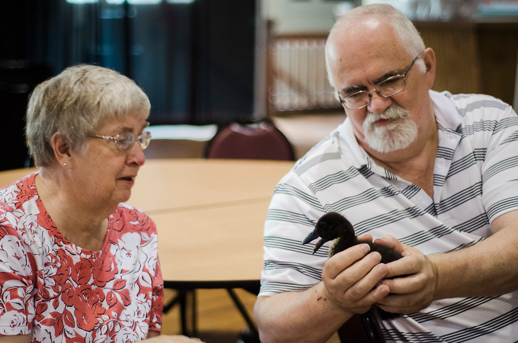 . Ed Daniels shows a baby duck off to Doris Hosley as the Winchendon-based Animal Craze traveling petting zoo  visited the Fitchburg Senior Center on Wednesday, July 12, 2017. SENTINEL & ENTERPRISE / Ashley Green