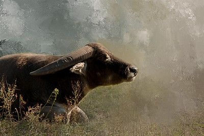 Naptime - Water Buffalo