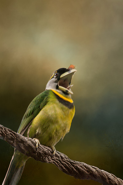 Fire Tufted Barbet