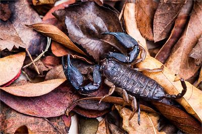 Rainforest Scorpian