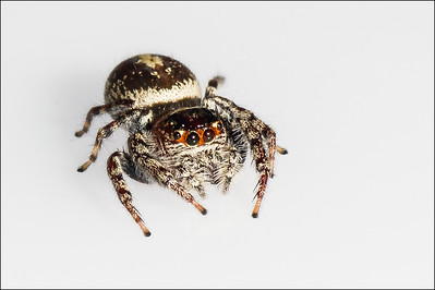 Opisthoncus jumping spider