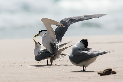Little Tern Discretion