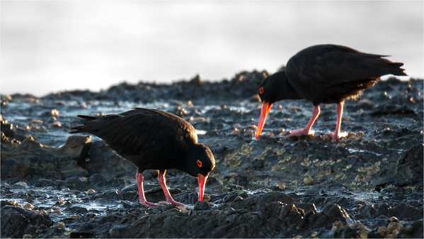 Sooty oystercatchers foraging
