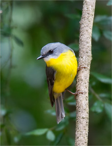 Eastern Yellow Robin 002
